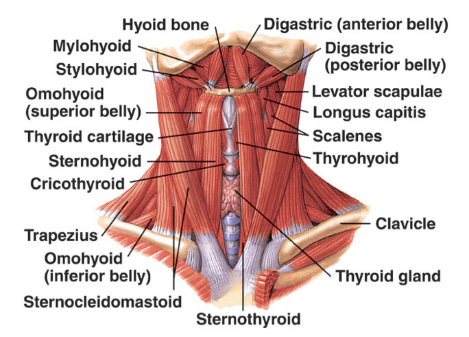 Figure 2: Extrinsic muscles of the larynx
