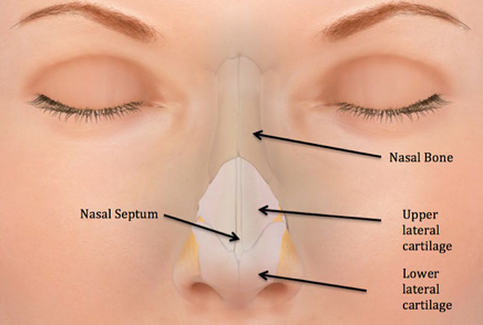 Figure 1: Diagram of the nose demonstrating the normal organization of structures.